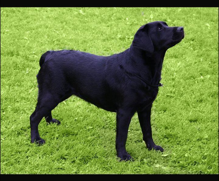 фото черный лабрадор ретривер