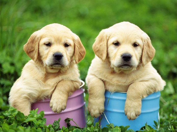 собака ретривер золотистый фото цена